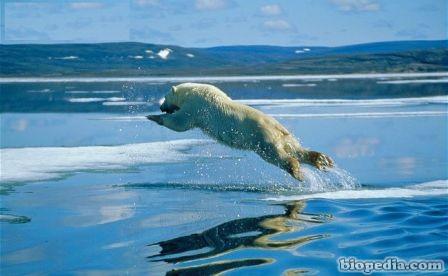oso polar y cambio climatico