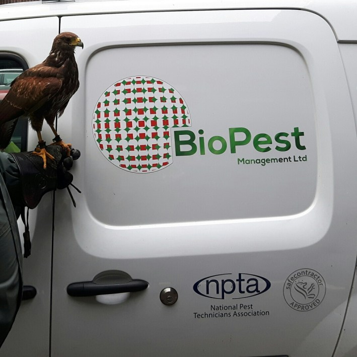 Harris Hawk - BioPest Management Ltd
