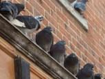 Pressure Pigeons