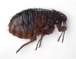 adult-flea