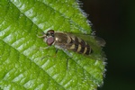 Parasyrphus punctulatus