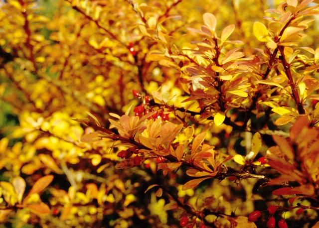Japanse berberis (Berberis thunbergii)