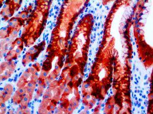 IHC of MUC5AC on an FFPE Stomach Tissue