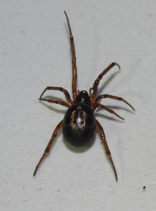 Steatoda nobilis - Falsa viuda negra mordedora