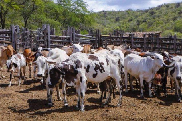 Resultado de imagem para bovino no sertão