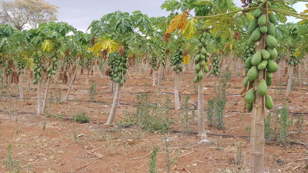 Plantação de mamão papaia