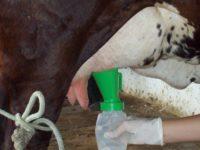 O pré-dipping é essencial para manter a saúde do úbere de vacas