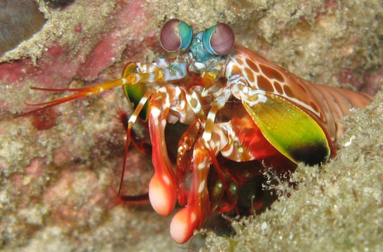Mantis shrimp are terrifyingly cool. They have up to 8 types of cells to register colour in their vision, compared to our measly 3. The strike of their forelimbs is considered to be the fastest known movement in the animal kingdom.