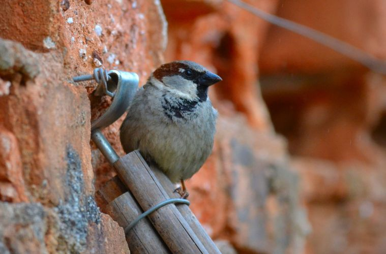 House Sparrow decline