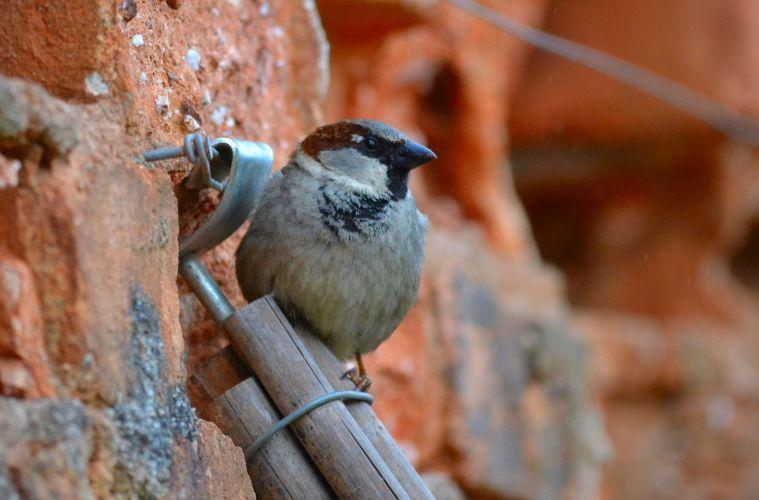 House Sparrow decline