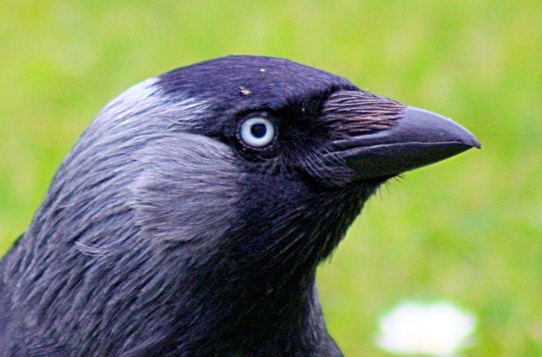 Jackdaw_-_up_close_and_personal_(552502080)