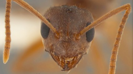 Nylanderia fulva, also known as the tawny crazy ant, hails from northern Argentina and southern Brazil. credit: Joe MacGowan, Mississippi Entomological Museum