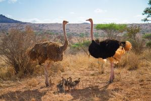 Ostrich_Family_(Kenya,_Day_3)