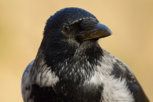 Clever corvids
