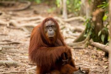 Orangutan, Borneo