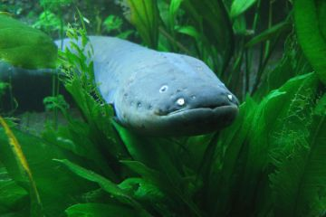 zz electric eel Scott Flickr