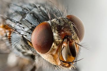 zz1200px-Sarcophagid_fly_Portrait