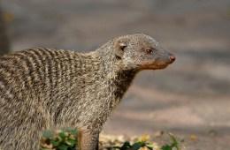 banded mongoose Mungos mungo Serengeti Serena Lodge Serengeti National Park Tanzania Kingdom: Animalia Phylum: Chordata Class: Mammalia Order: Carnivora Family: Herpestidae
