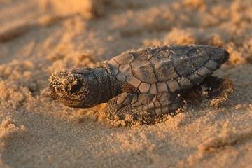 The rarest sea turtle