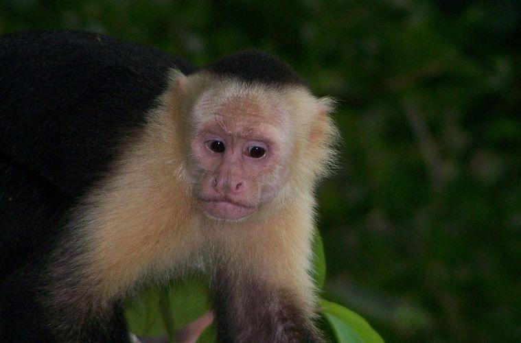 'New world' monkeys