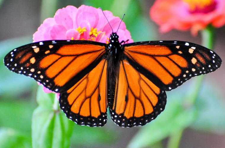 monarch migration: secrets of butterfly internal compass
