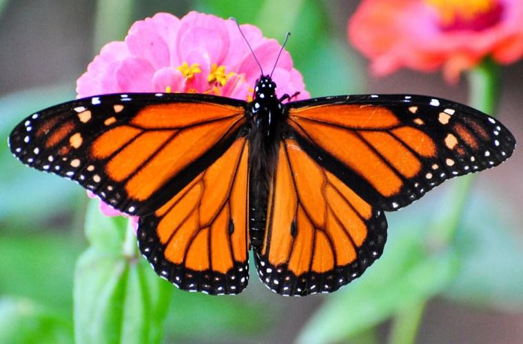 monarch migration: secrets of butterfly internal compass