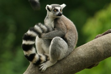 Lemur scent marking
