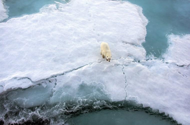Polar bears swim further to find refuge
