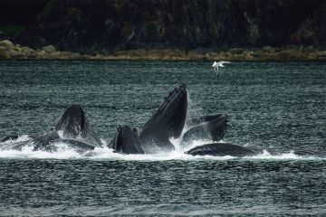 Exclusivity in whale feeding behaviour
