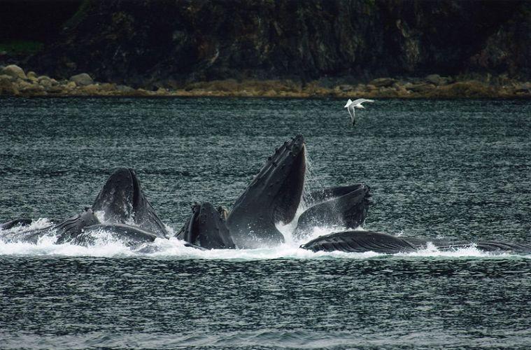Exclusivity in whale feeding behaviour