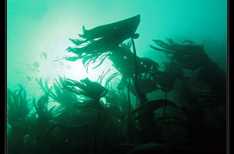 Kelp conservation: the forests of the deep