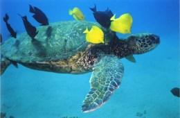Sea turtle sleeping habits