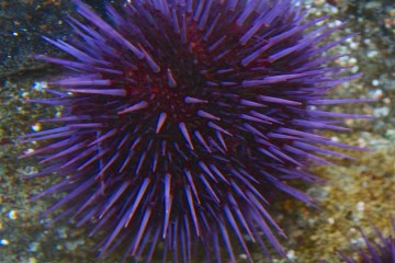 Sea urchins defy ageing