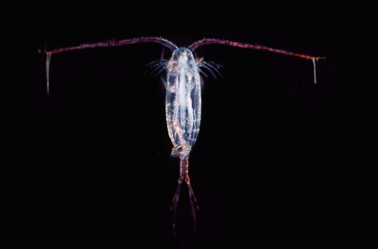 Copepods get 'drunk' on toxic algae