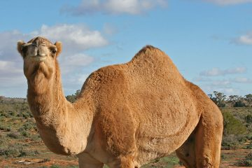 Camels - the ships of the desert