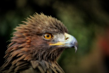 Beak evolution - golden eagle
