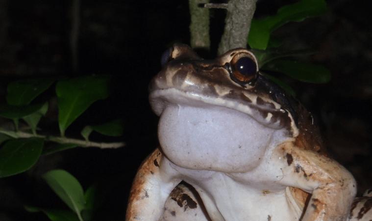 Montserrat mountain chicken frogs