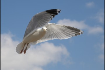 Urban herring gulls