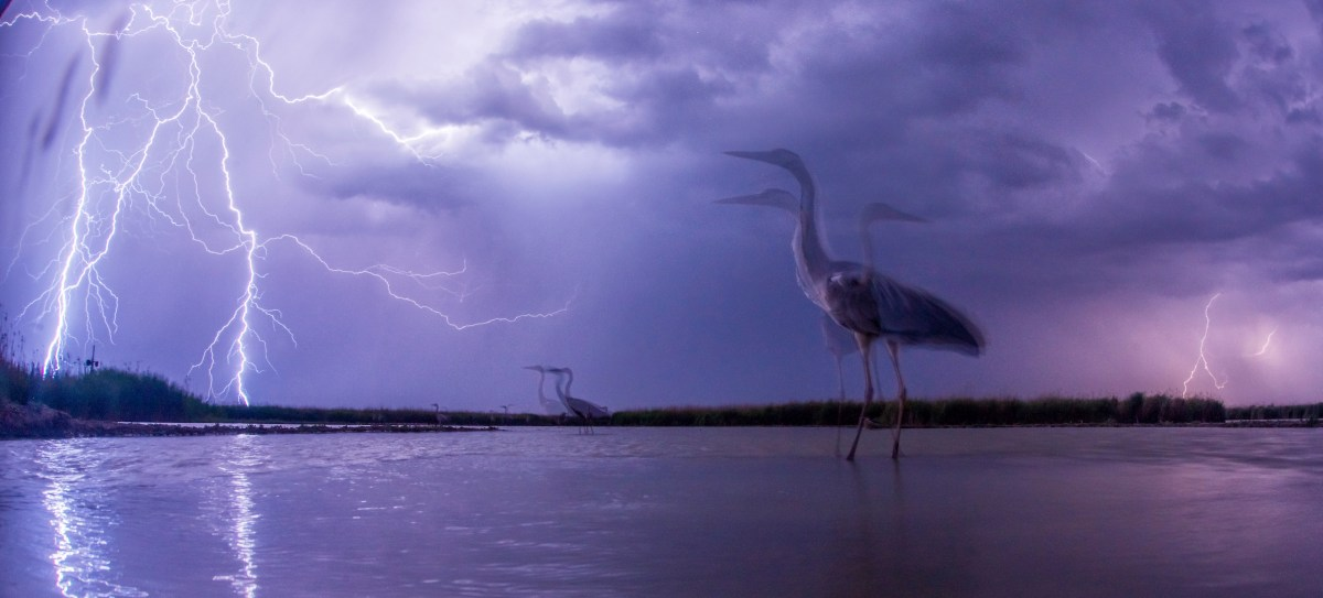 Bird Photographer of the Year Awards 2015 Caption: Lightning Category: Birds in the Environment Photographer: Bence Mate Taken on: 14/6/2015 Email: photocompetitions@matebence.hu Address: Mezo utca 2/B, Pusztaszer, Csongrad County, 6769, Hungary Telephone: +3630427408 Description: While the lights of the storm do not really disturb the birds, the lightning of the photo flesh scares them. Date: 2015-06-14 Location: Hungary, Kiskunsag National Park I give my permission for this photograph to be added to the bto archive: true I confirm that this is not a captive bird: true