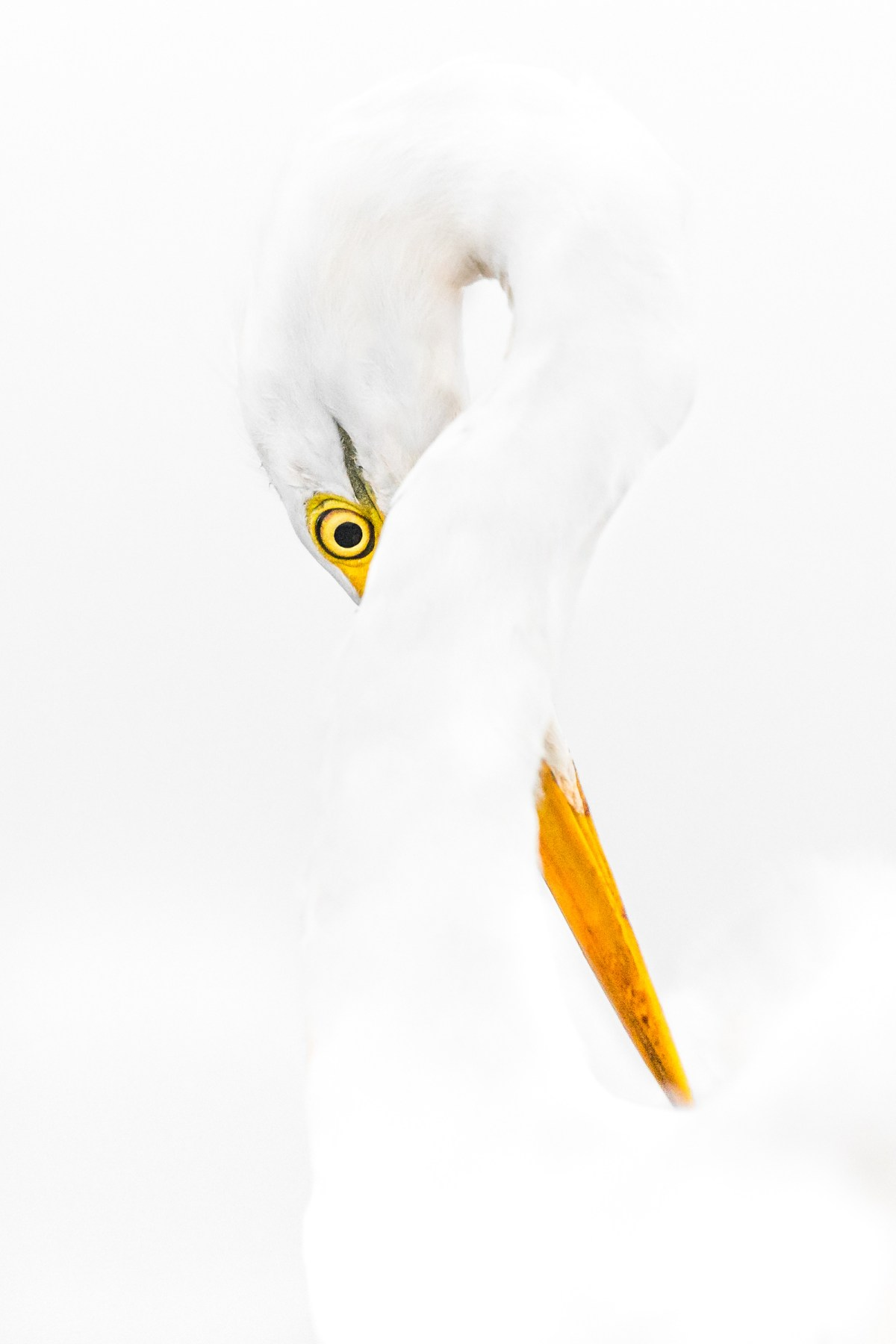 I had great fun with this Great Egret that day ,, he was posing like a pro model! so i waited for him to do something interesting , and surprisingly he did .. his body and the beginning of his neck is now a guide line for his eye .. he stayed like that for exactly 4 seconds only! one of the photos that are dear to my heart