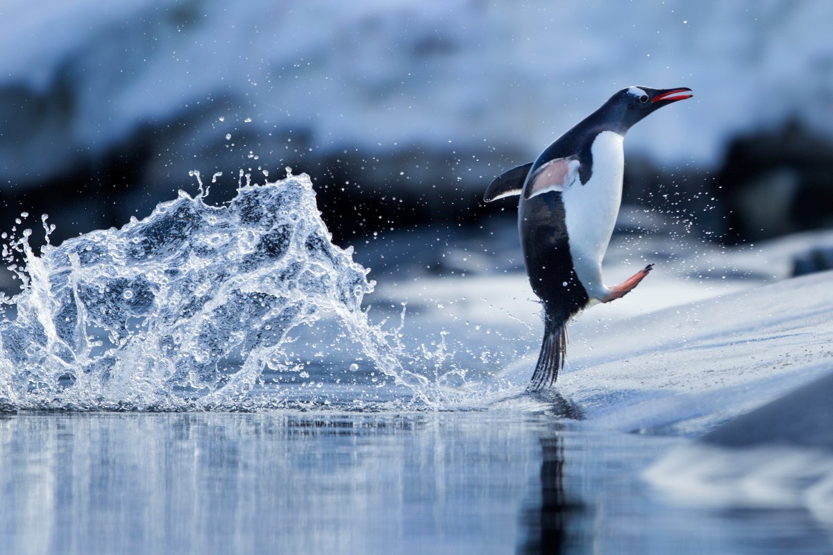 Antarctica, Gentoo Penguin (Pygoscelis papua) leaping from water on rocky shoreline near Port Lockroy on Wiencke Island