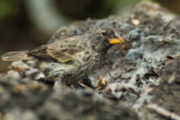Large_ground_finch_(4229044630) Peter Wilton