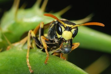 If you can get away with it, should you cheat to reap the benefits? Perhaps not, if you are a paper wasp.