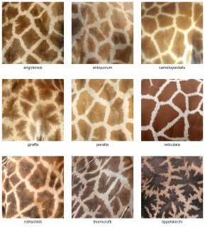 the_fur_pattern_of_all_nine_giraffa_camelopardalis_subspecies