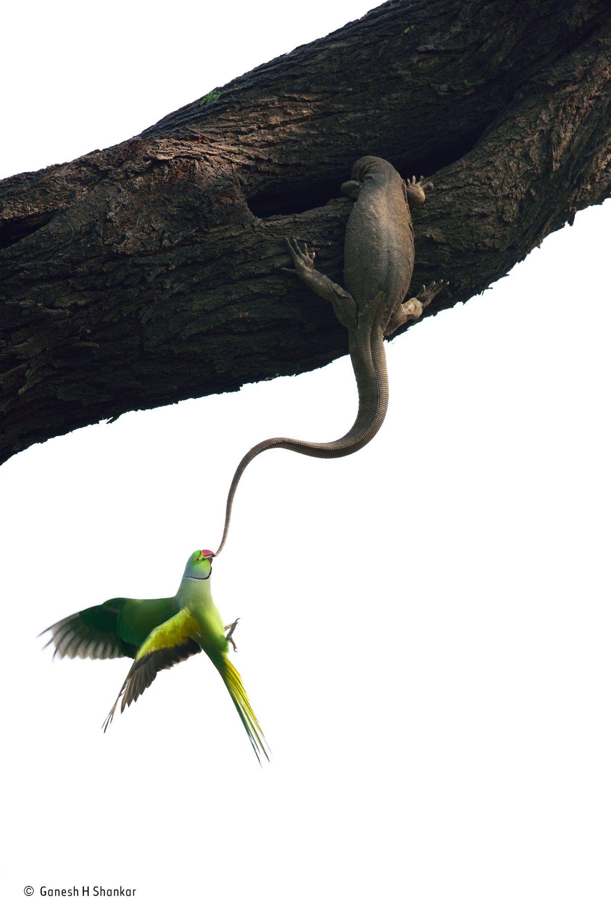 ganesh-h-shankar_wildlife-photographer-of-the-year_-birds-winner