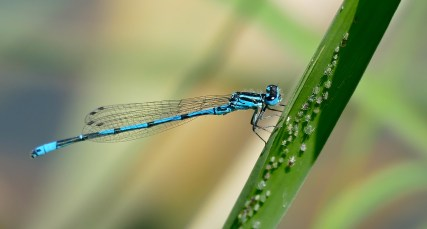 As larvae, azure damselflies demonstrate clear personalities. © Bernard DuPont/Flickr