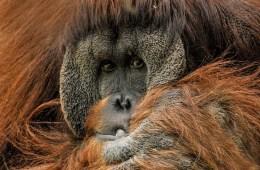 orangutan-571462_1920