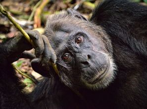 Chimpanzees tool use: RodWaddington@flikr