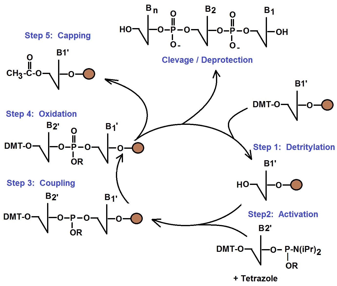 What Affects The Yield Of Your Oligonucleotides Synthesis