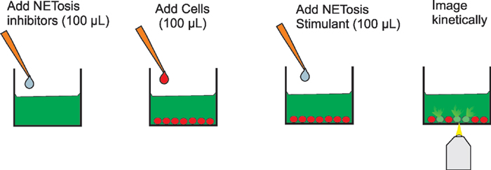 NETosis stimulation and inhibition assay process.